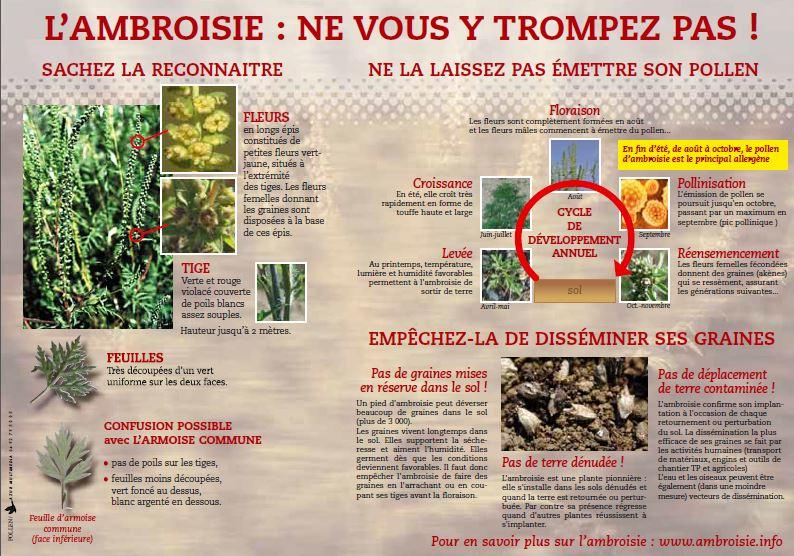 ambroisie2